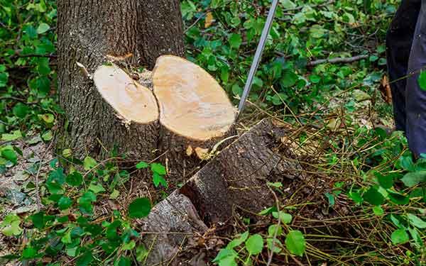 abbattimento grandi alberi
